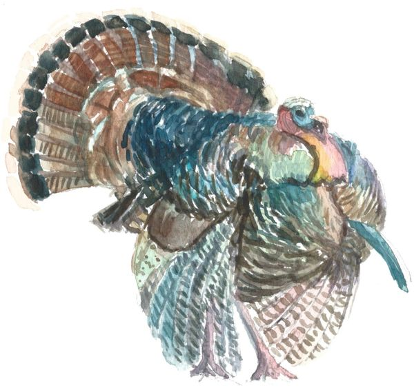12 Printed Place Cards of Male Turkey Strutting