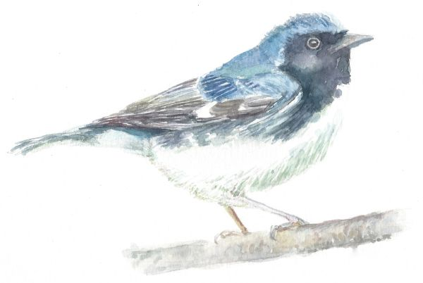 Black Throated Blue Warbler Framed