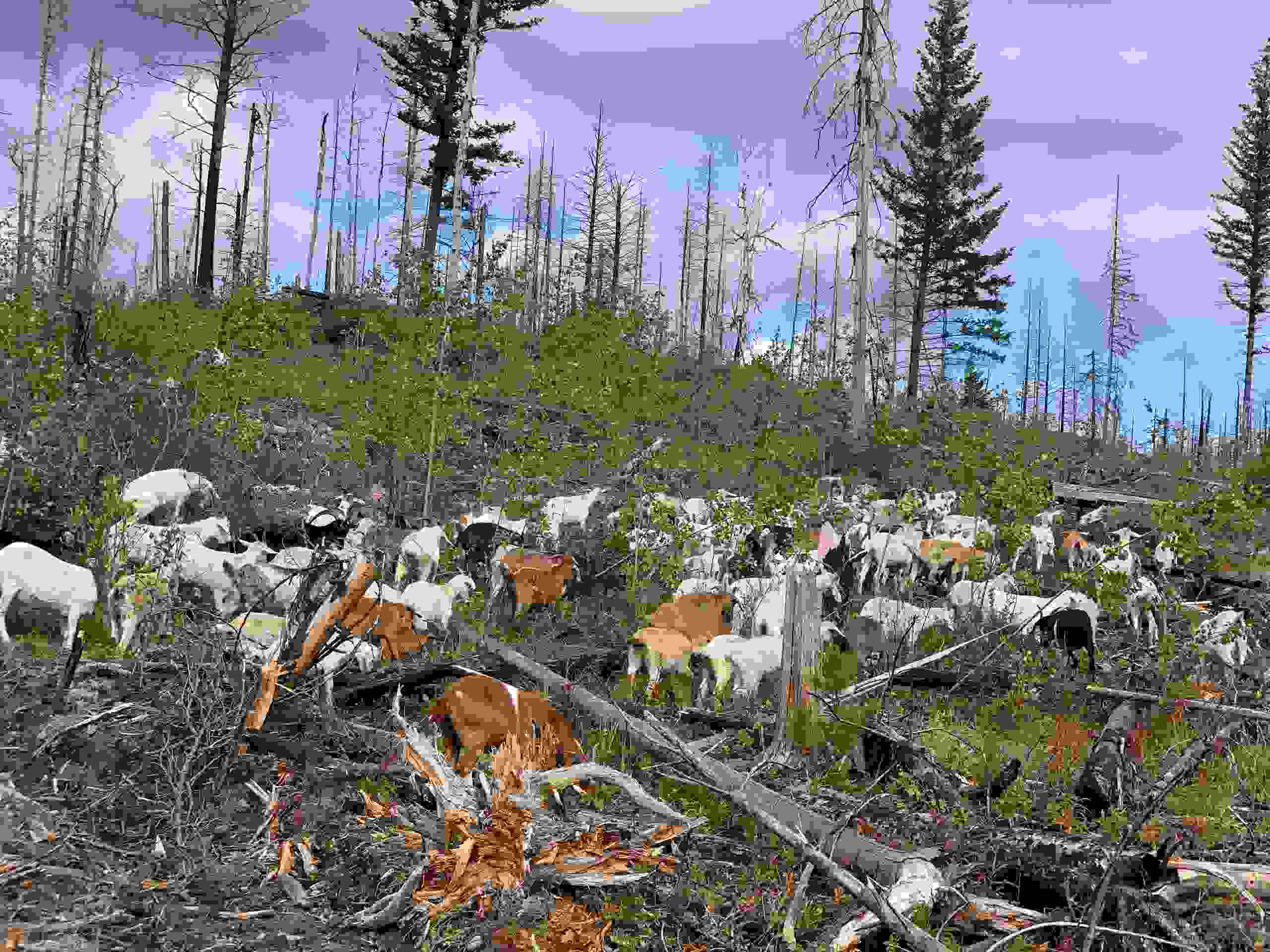 Goats Brushing in forestry.