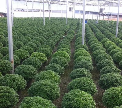 hardy garden mums in our wholesale plant greenhouse