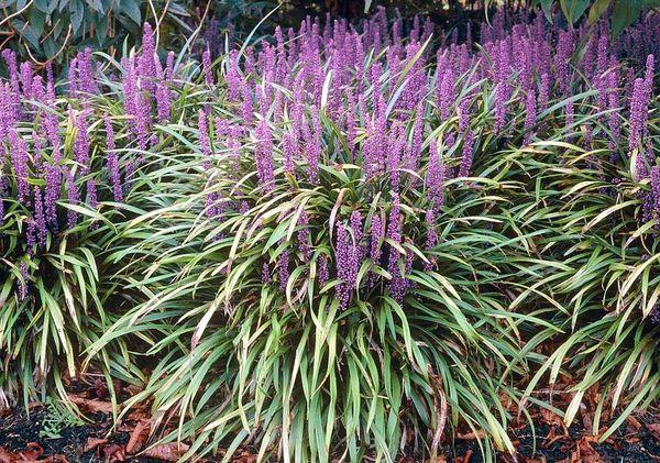Liriope Evergreen Grasses The Landshaper