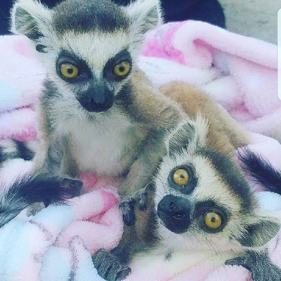 THESE ARE RINGTAIL LEMURS THEY ARE ADORABLE INQUISITIVE PRIMATES THAT ORIGINATE IN MADAGASCAR 🙂