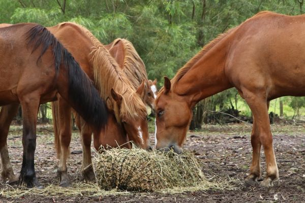 Donate a bale of hay to the Brumbies