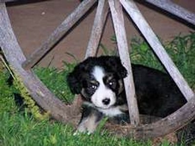 Cute black tri Miniature American Shepherd puppy in wagon wheel from Rocking 2R Kennel
