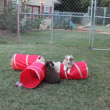 Puppies learn to have fun with pint sized agility equipment at Rocking 2R Kennel