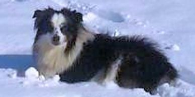 Miniature American Shepherd from Rocking 2R Kennel playing in snow