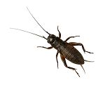 *ONLINE ONLY* Extra Large Black Crickets