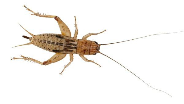 *ONLINE & INSTORE* Medium Silent Crickets (Pre-Pack)