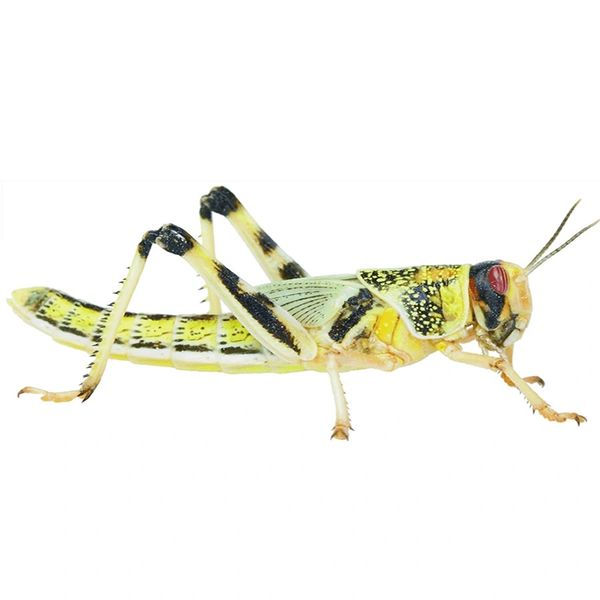 *ONLINE & INSTORE* Small Locusts (Pre-Pack)