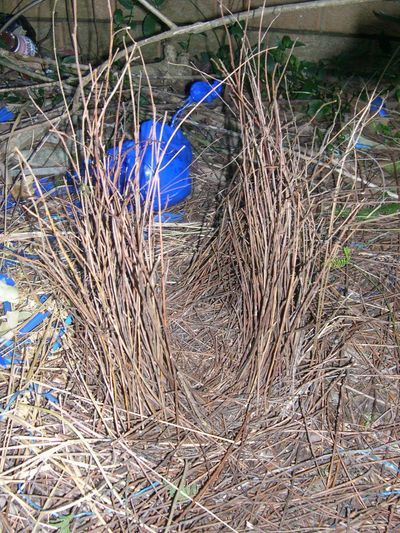 A bower; created by a male bower bird  of upright sticks and leaves and decorates with blue items