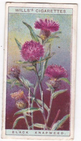 A Series No. 15 Black Knapweed