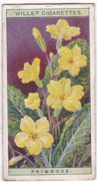 A Series No. 30 Primrose