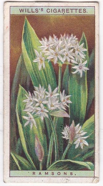 A Series No. 31 Ramsons
