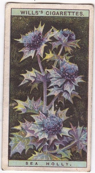 A Series No. 35 Sea Holly