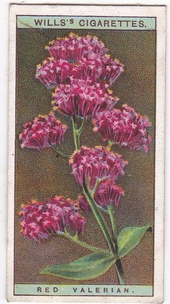 A Series No. 46 Red Valerian