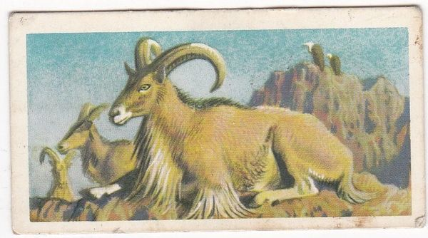 No. 28 Barbary Sheep