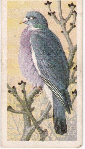 No. 25 Wood Pigeon