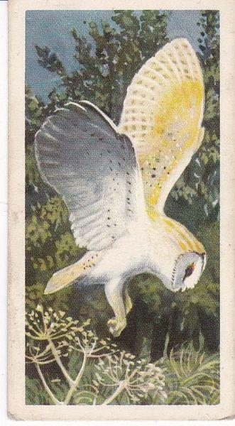 No. 36 Barn Owl