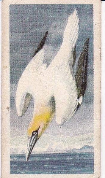 No. 47 Gannet