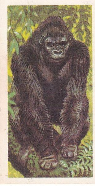 No. 01 Gorilla