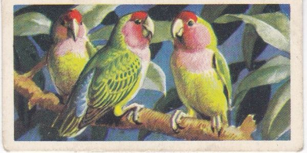 No. 06 Peach or Rosy-Faced Lovebird