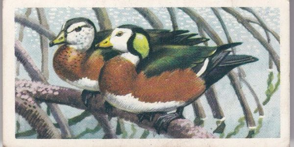 No. 07 African Pygmy Goose