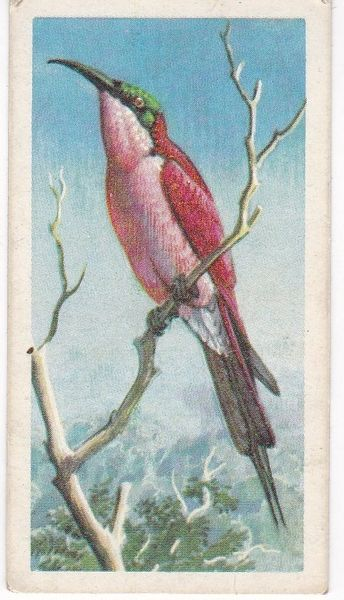 No. 17 Southern Carmine Bee-Eater