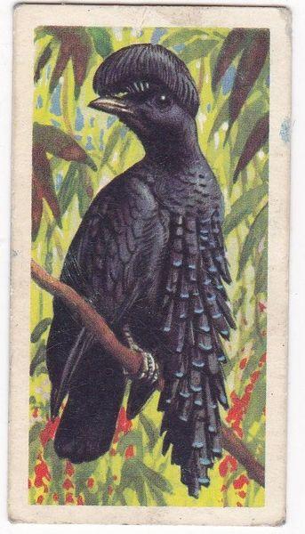 No. 20 Ornate Umbrella Bird