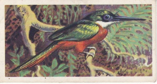 No. 22 Rufous or Red-Tailed Jacamar