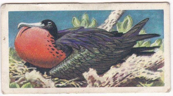 No. 34 Magnificent Frigate Bird