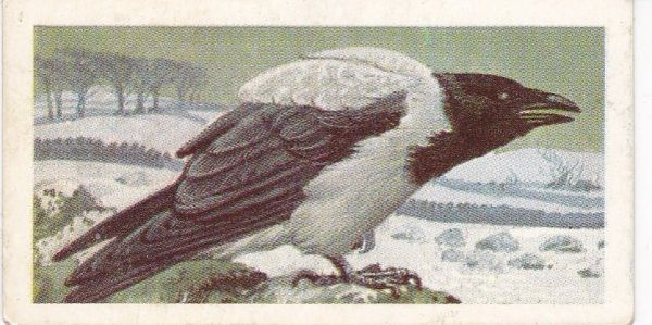 No. 02 Hooded Crow