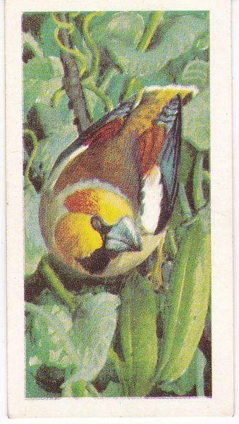 No. 09 Hawfinch