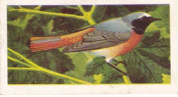No. 10 Redstart