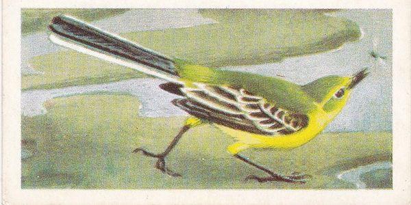 No. 14 Yellow Wagtail