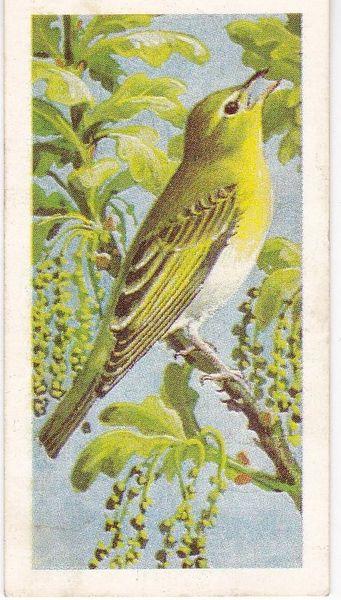 No. 16 Wood Warbler
