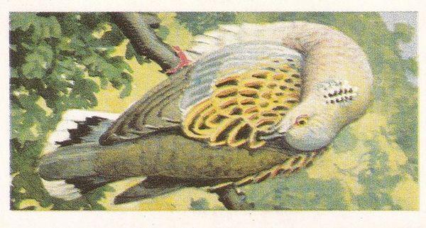 No. 20 Turtle Dove