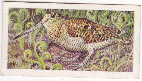 No. 25 Woodcock