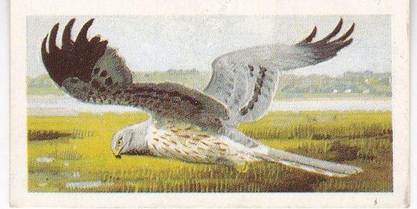 No. 31 Montagu's Harrier