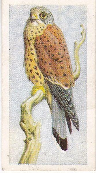 No. 32 Kestrel