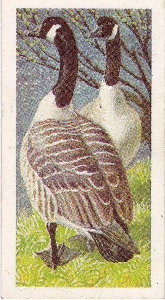 No. 41 Canada Goose