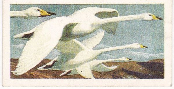 No. 42 Whooper Swan