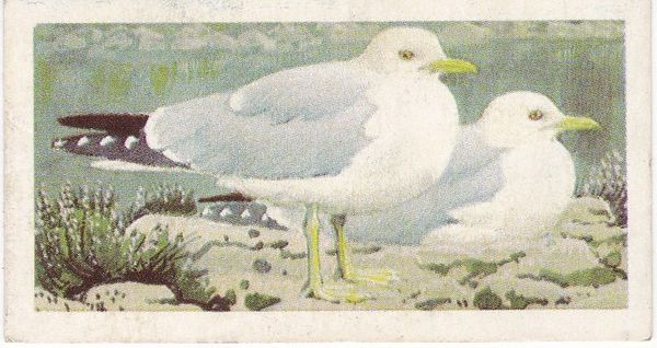 No. 45 Common Gull