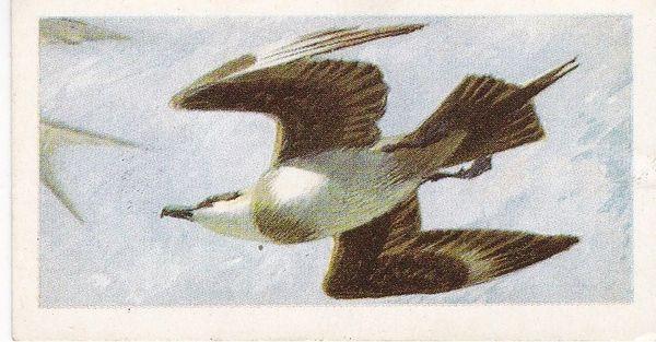No. 46 Arctic Skua