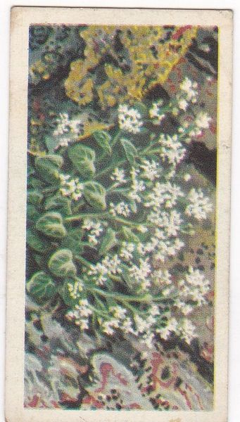 Series 3 No. 16 Scurvy Grass