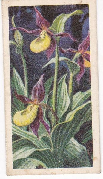Series 3 No. 20 Lady's Slipper Orchid