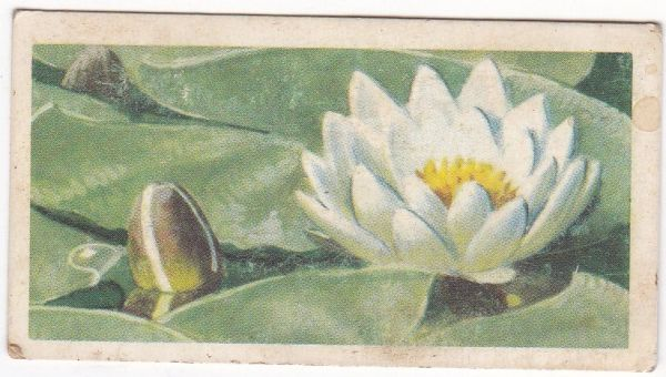 Series 2 No. 27 White Water-Lily