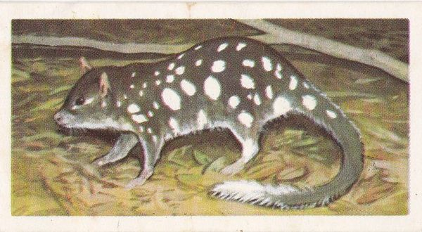 No. 01 Eastern Native Cat or Quoll