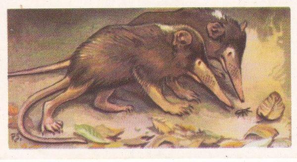 No. 04 Hispaniolan Solenodon