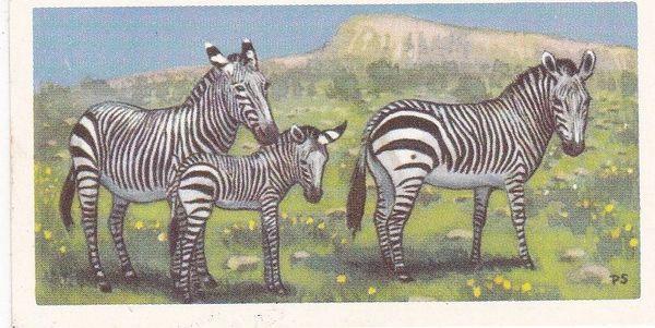 No. 10 Cape Mountain Zebra