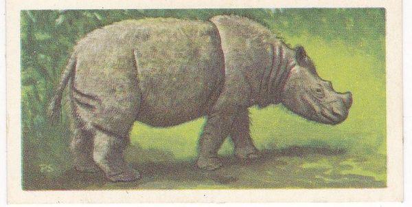 No. 11 Sumatran Rhinoceros